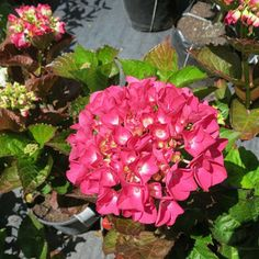 Hydrangea-Raspberry-Crush-Dec-2013