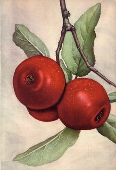 Jan Boon (1882-1975) - Different types of apples and pears, all watercolour,