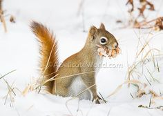 This is a 5x7 print of a red squirrel in the snow, with his face full of birch bark. I had a lot of fun taking this photograph. It was mating
