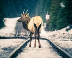 An #elk eating grain from the trains in #Field, #BritishColumbia