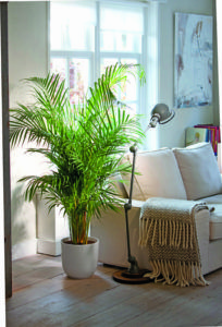 Common House Plants That Filter Your Air All Day Areca Palms are awesome for cleaning your indoor air while keeping cats safe.Areca Palms are awesome for cleaning your indoor air while keeping cats safe. Indoor Palm Trees, Indoor Palms, Best Indoor Plants, Indoor Garden, Garden Plants, Houseplants Safe For Cats, Cat Safe Plants, Living Room Plants, House Plants Decor