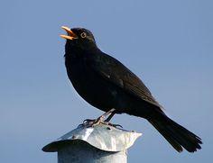 Nå om våren begynner de forskjellige fugleartene å synge, og en etter en bidrar de til å gjøre det vårlige blandakoret mer og mer imponerende. Finn ut hvordan de forskjellige fuglene høres ut, og når på våren de begynner å synge!