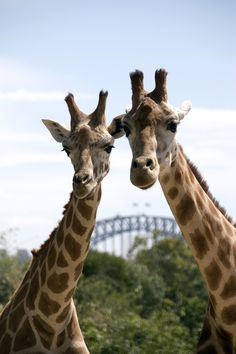 Sydney Harbour Hop-On Hop-Off Cruise Pass Including Taronga Zoo Entry Stuff To Do, Things To Do, Darling Harbour, Round Trip, Sydney Harbour Bridge, Giraffe, Shark, Cruise, Places To Visit