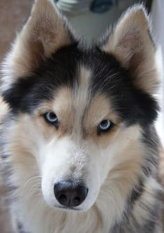 19 Husky Mixes: The Best Furry, Winter Warrior Mixed Breeds! 19 Husky Mixes: The Best Furry, Winter Warrior Mixed Breeds! Source by aislingcadmus The post 19 Husky Mixes: The Best Furry, Winter Warrior Mixed Breeds! appeared first on Welch Puppies. Animals And Pets, Baby Animals, Funny Animals, Cute Animals, Funny Dogs, German Shepard Husky Mix, German Husky, Husky Shepard Mix Puppies, Australian Shepherd Husky