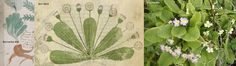 Ellie Velinska: The Voynich Manuscript: Daisy