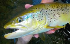 Large brown trout like this are often taken on streamers. Take your streamer fishing to the next level. Fishing Photos, Brown Trout, Bass Boat, Big Fish, Streamers, Fly Tying, Salmon, Water, Trout