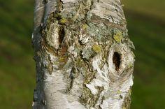 Berkenstam, omgeving Westerhoven #westerhoven #birch #trunk