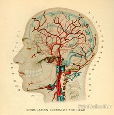 Circulation System of the Head
