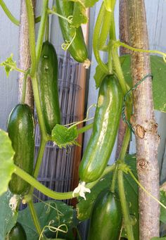 Vertical Vegetable Gardens, Bokashi, Types Of Fruit, Growing Gardens, Green Rooms, Grow Your Own Food, Fruits And Vegetables, Farm Life, Cucumber