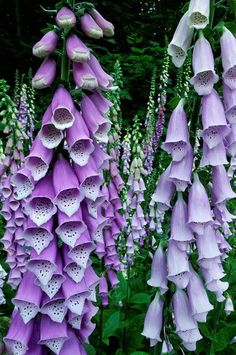 purple foxgloves...ours have reseeded and claimed a long strip near the woods with ferns as a backdrop....a bonus garden:^)