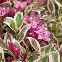 Weigela My Monet from American Meadows, Totally recommend this plant!  Give it plenay of room and enjoy for three seasons!