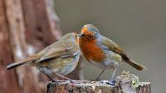 Male robin feeding its female mate, so cute! :)