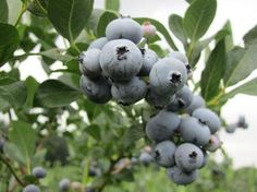 The Organic Blueberry Ranch