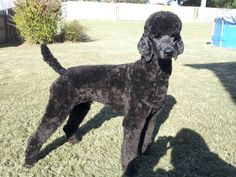 Manly Poodle Cuts?! Do They Even Exist? - Poodle Forum - Standard ...