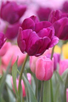 Tulipanes💞 One Million Tulips Pink Tulips, Tulips Flowers, My Flower, Pretty Flowers, Fresh Flowers, Spring Flowers, Daffodils, Tulips Garden, Planting Flowers