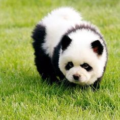 It's panda-monium in pet shops in China as dogs that look like the country's unique and rare bears become all the rage. These dogs that look like pandas. Cute Baby Animals, Animals And Pets, Funny Animals, Baby Pandas, Giant Pandas, Exotic Animals, Animals Photos, Wild Animals, Panda Puppy