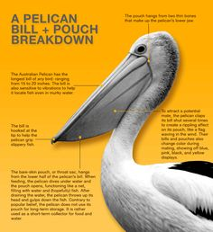 Outback Pelicans The Bill and Pouch Breakdown (Graphic)  The enormous bill and expandable throat pouch gives pelicans a look all their own. But these anatomical features are not simply aesthetic; they're functional. Here's a quick visual breakdown of the pelican bill and pouch.