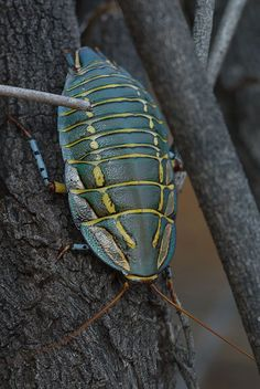 A Painted Trilobite Cockroach, taken in Australia by Andrei Nikulinsky. Very colorful and interesting looking.