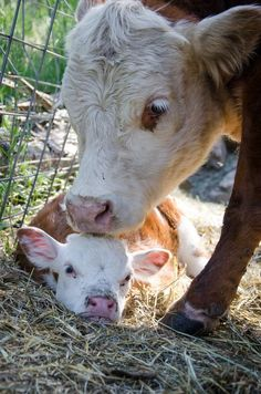 Miniature Hereford Cow and Her Calf