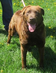 Meet CoCo, a Petfinder adoptable Chesapeake Bay Retriever Dog | Elkins, WV | We don't get Chesapeake Bay Retrievers in very often but she is obviously the real deal. CoCo is super friendly and has a happy disposition. She seems to enjoy the company of other dogs and is quite excited to join our morning walks. She pulls a bit on the leash, but if she got regular exercise she would likely slow down a bit. Coco would be a great family dog and would probably be great with kids. Come check her…
