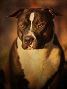Pitbull Photo Posters - Proud Pit Bull Poster by Larry Marshall