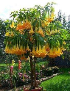 ✯ Brugmansia - Angel Flowers