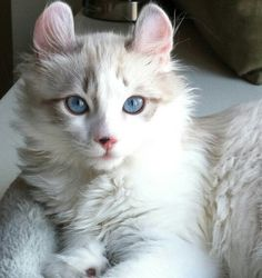 American Curl Cat - those eyes! Those ears!