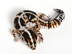 Image result for african fat tailed gecko habitat