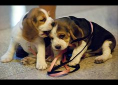 Two beagle pups playing - ouch Char-lay that really hurt!