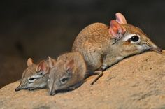 Rufous Sengi (Elephant Shrew) mom with her youngs..