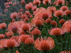 Blooming Leucospermum at Kirstenbosch National Botanical Garden, South Africa. Photo: Lucy Warren