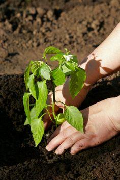 Tips for pepper planting