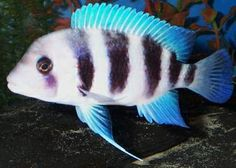 Frontosa Cichlid- would love one of these guys!!
