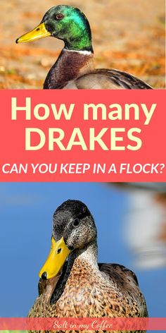 Keeping too many drakes in your flock can lead to dangerous or fatal consequences. Learn about the best drake to duck ratio for a home flock. Backyard Ducks, Backyard Poultry, Chickens Backyard, Raising Quail, Raising Ducks, What To Feed Ducks, Duckling Care, Keeping Ducks, Male Duck