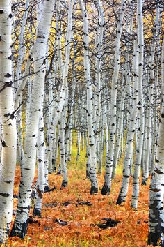 This is one of my favorite images that I've ever taken. Autumn Aspen Trees in 2006 on the Alpine Loop near Sundance, Utah. We live in such a gorgeous state! Artist Canvas, Canvas Artwork, Canvas Art Prints, Framed Canvas, Birch Tree Art, Aspen Trees, Plantation, Image Hd, Nature Photography