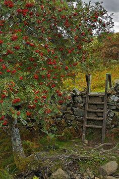 Mountain Ash/Rowan Tree with Steps Over an Old Stone Wall, UK . Snowdonia, Dartmoor, Autumn Garden, English Countryside, Rowan, Farm Life, Country Life, Country Living, Belle Photo