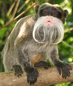 """My mustache is more impressive than yours, yours is a weave!"" retorted this miffed monkey."