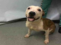 Manhattan Center FRUIT PUNCH – A1093320  MALE, BR BRINDLE / WHITE, PIT BULL MIX, 1 yr STRAY – STRAY WAIT, NO HOLD Reason NO TIME Intake condition UNSPECIFIE Intake Date 10/13/2016, From NY 10457, DueOut Date10/16/2016,