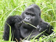 mountain gorilla, uganda Email: Info@bondtoursandtravel.com  with your questions and to book your trip today.