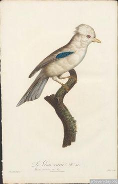 2 | Любителям пернатых. Альбом с райскими птицами, изображения тщательно подчищены от влияния времени, год издания - 1806 | ARTeveryday.org