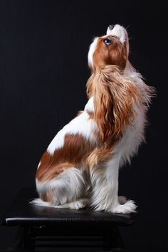 "Such a beautiful picture! Beautiful Blenheim Cavalier King Charles Spaniel 500px / Photo ""Felix"" by Art Mellor"