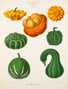 A Chromolithograph plate of ornamental gourds taken from the Album Benary. The Album contains 28 colour plates in total of vegetable varieties by Ernst Benary which are named in the accompanying page in German, English, French and Russian.   Creator Benary, Ernst (1819-1893)   Date 1876
