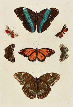 stilllifequickheart:  G.W. Knorr Butterflies 1779