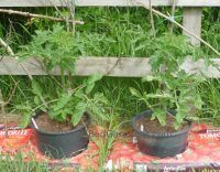 Tomatoes grown in ring culture pots