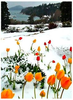 Tulips in Snow, Jeremy Ranch, Park City, Utah.I love it when flowers grow out of the snow, how beautiful is this Beautiful World, Beautiful Places, Beautiful Pictures, Wonderful Places, Amazing Things, Simply Beautiful, Amazing Places, Park City, Fuerza Natural