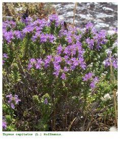 Thymus capitatus (L.) Hoffmanns. & Link
