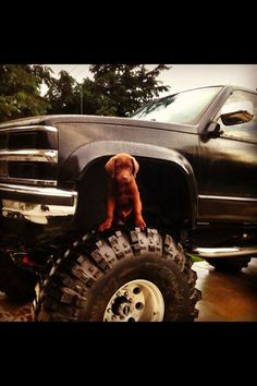 'look, i fit!' I want both,a big bad truck and a cute chocolate lab!