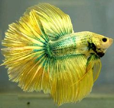 Green and Yellow HM Dragon Betta