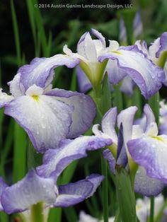 Iris ensata - Blue / Purple and White Japanese Iris - late spring / early summer flowering perennial