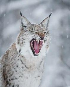 Sleepy Lynx so beautiful and fierce Big Cats, Cats And Kittens, Cute Cats, Rare Animals, Animals And Pets, Strange Animals, Beautiful Cats, Animals Beautiful, Anime Lobo